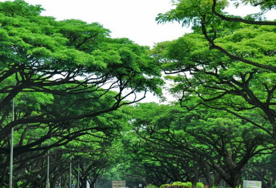 雨树2.png