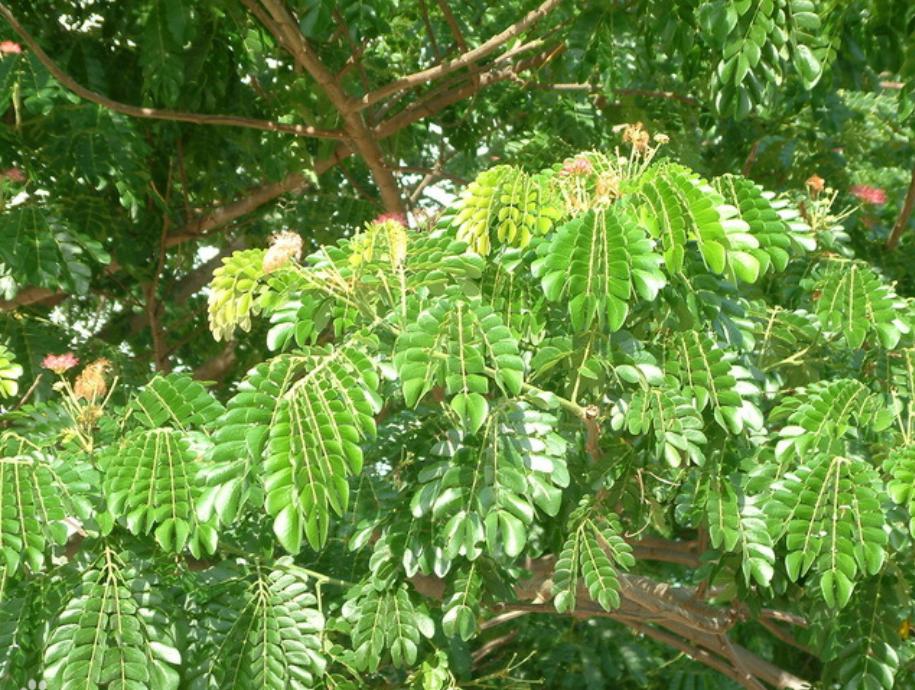 雨树1.png